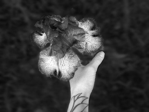 Photo of hand holding iris
